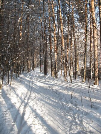 thickets: Ski track in the icy silence forest. Frost in sunny day.  Stock Photo