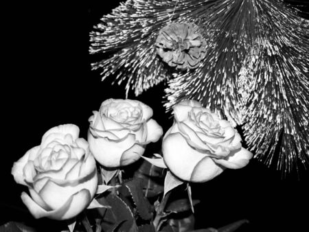 Three pink rose and fir tree in the dark photo