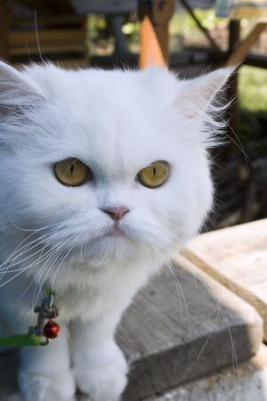 moustached: Serious sight of the white cat