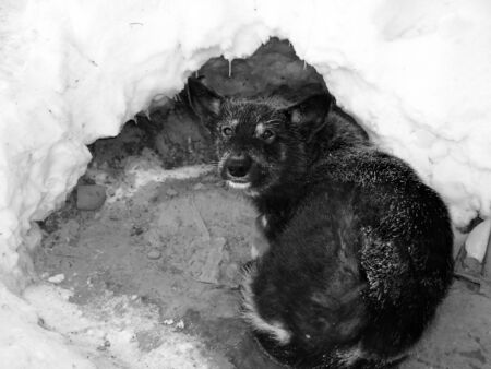undomestic: Winter frost. Black dog on a snow. Black and white photo