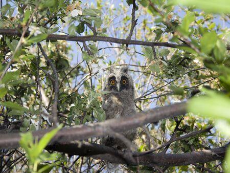 Owl in het forest. Bloesem boom  Stockfoto