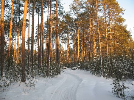 impasse: Ski track in the icy silence forest. Frost in sunny day. Wild Siberian taiga.