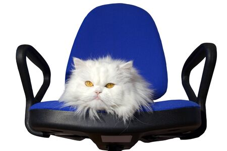 Angry white cat sitting on a chair in office. Year of white cat photo