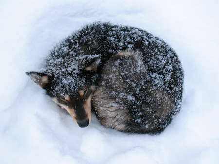 undomestic: Winter frost in West Siberia. Black dog sleep on a snow