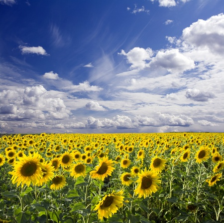 Field of the yellow sunflowers. Sky amd clouds