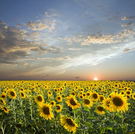 Sunset above field of the yellow sunflowers. Sky amd clouds Stock Photo - 8878661