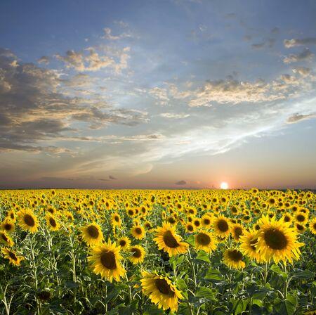 campo de flores: Puesta de sol sobre el campo de los Girasoles amarillos. Nubes de amd de cielo