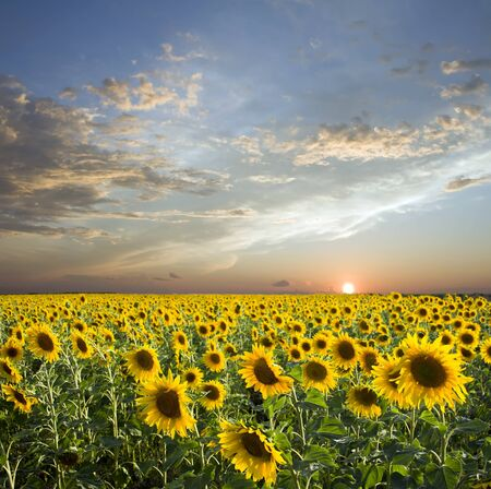 Sunset above field of the yellow sunflowers. Sky amd clouds photo
