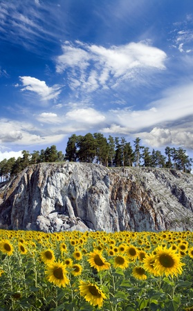 Field of a beauty sunflowers. Blue sky above rocky mountains Stock Photo - 9022604