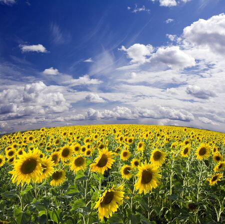 Field of the yellow sunflowers. Panoramic view. Wide angle photo