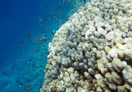 Underwater life of Red sea. Fishes and coral reef. Egypt.  Stock Photo - 15735339