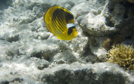 chaetodon: Underwater life of Red sea in Egypt  Saltwater fishes and coral reef  Butterflyfish Chaetodon family  Sunbeam on a seabad