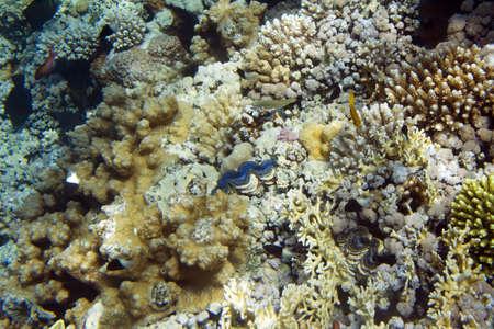 coral colony: Il blu maxima clam. Tridacna maxima. La vita subacquea del Mar Rosso in Egitto. Pesci d'acqua salata e la barriera colonia di corallo
