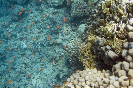 dichotoma: Underwater life of Red sea in Egypt. Saltwater fishes and coral reef. Millepora dichotoma coral