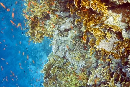 hard coral: Millepora dichotoma coral and chromis dimidiata fish. Underwater life of Red sea in Egypt. Saltwater fishes and coral reef. Fire hard coral