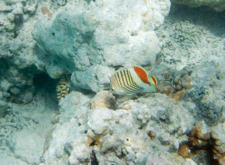 coral colony: Chaetodon paucifasciatus. Mar Rosso eritreo farfalla. Eritreo, farfalla, la vita subacquea del Mar Rosso in Egitto. Pesci d'acqua salata e la barriera colonia di coralli. La luce del sole in acqua blu profondo Archivio Fotografico