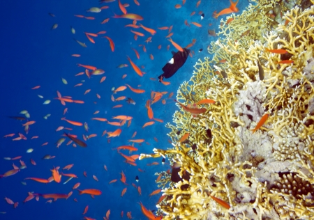 Millepora dichotoma fire coral colony. Underwater life of Red sea in Egypt. Saltwater fishes and coral reef photo