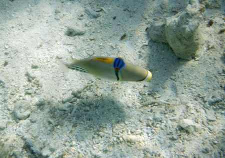 triggerfish: Arabian triggerfish. Picassofish. Rhinecanthus assasi. Underwater life of Red sea in Egypt. Saltwater fishes and coral colony reef. Stock Photo
