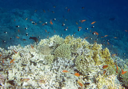 coral colony: Underwater life of Red sea in Egypt. Saltwater fishes and coral colony reef