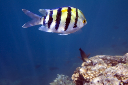 Damselfish Abudefduf sexfasciatus.  Sergeant major fish. Underwater life of Red sea in Egypt. Saltwater fishes and coral reef. photo