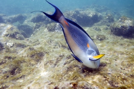 sohal: Underwater life of Red sea in Egypt. Surgeonfish and coral reef. Family of fishes Acanthuridae. Acanthurus sohal