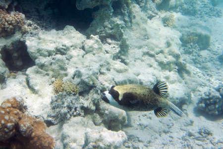 coral colony: Arothron Dog Face palla Arothron diadematus. La vita subacquea del Mar Rosso in Egitto. Pesci d'acqua salata e la barriera colonia di corallo