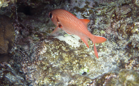 soldier fish: Underwater life of Red sea in Egypt. Saltwater fishes and coral reef. Holocentridae doubletooth soldierfish, Myripristis  hexagona family. Squirrelfish