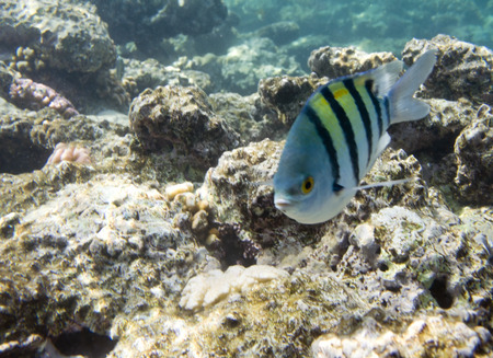 Damselfish Abudefduf sexfasciatus. Underwater life of Red sea in Egypt. Saltwater fishes and coral reef. Sergeant major fish photo