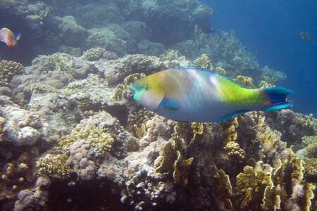 Underwater life of Red sea in Egypt. Saltwater fishes and coral reef. Parrot fish on a front plane, Scaridae Cichlid family photo
