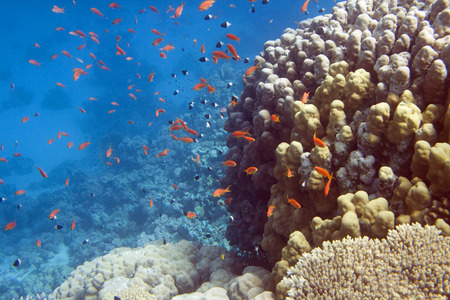 Underwater life of Red sea in Egypt. Saltwater fishes and coral reef. Fish school in blue water photo