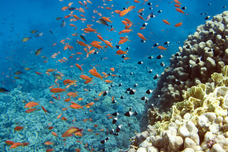 soft corals: Underwater life of Red sea in Egypt. Saltwater fishes and coral reef. Fish school