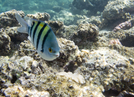 Damselfish Abudefduf sexfasciatus. Underwater life of Red sea in Egypt. Saltwater fishes and coral reef. Sergeant major fish