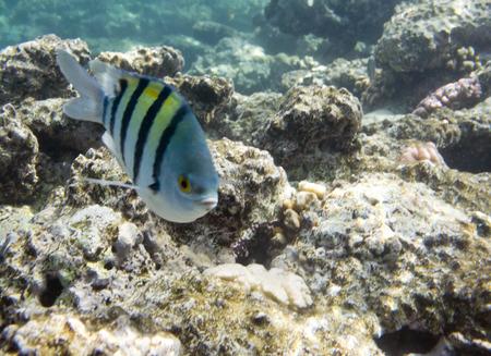 damselfish: Damselfish Abudefduf sexfasciatus. Underwater life of Red sea in Egypt. Saltwater fishes and coral reef. Sergeant major fish