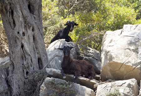 Two wild mountain black goats in forest. photo
