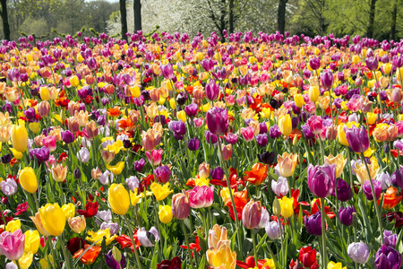Keukenhof in Holland is the international and independent showcase for the Dutch floricultural sector, with a special emphasis on flower bulbs.