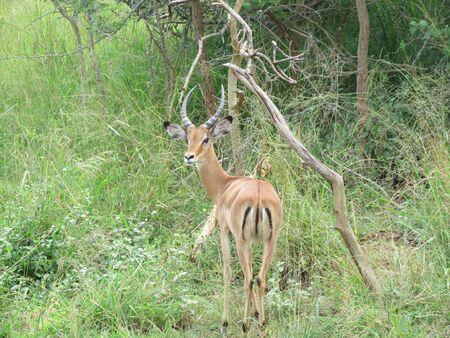 impala: Impala on safari Stock Photo