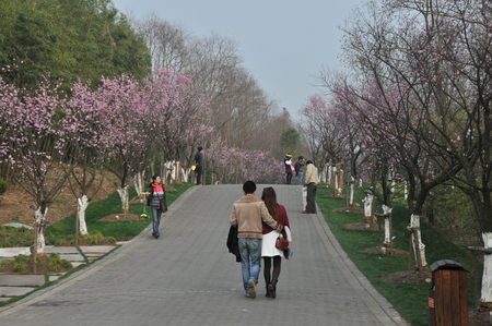 visitors: Plum blossom, visitors outing Editorial