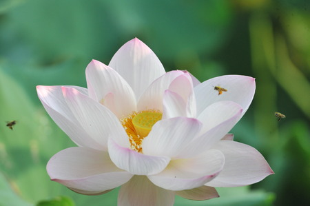 lotus flowers: lotus flower