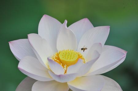 lotus flowers: Lotus