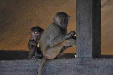 baboon: Baboon Stock Photo
