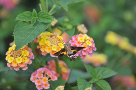 moth: Shanghai Zoo Hummingbird moth, honey