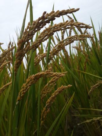 gratifying: Shanghai Qingpu rice is gratifying, a bumper harvest in sight.