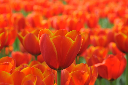 exposition: Tulip flower Exposition Stock Photo