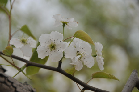pear tree: Close up to pear flowers on pear tree Stock Photo