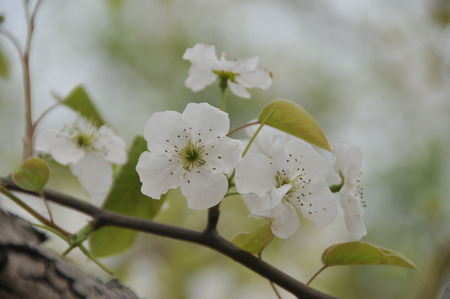 pear tree: Close up to white flowers on a pear tree