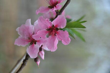 peach blossom: Peach Blossom