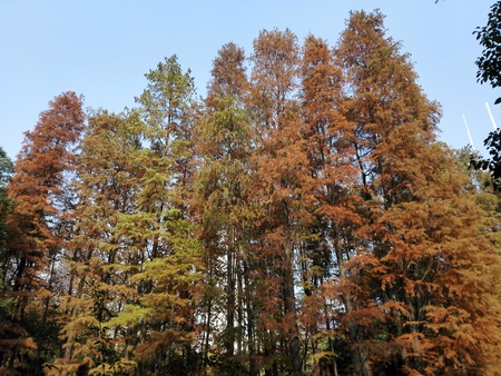 protected plant: Colorful cedar