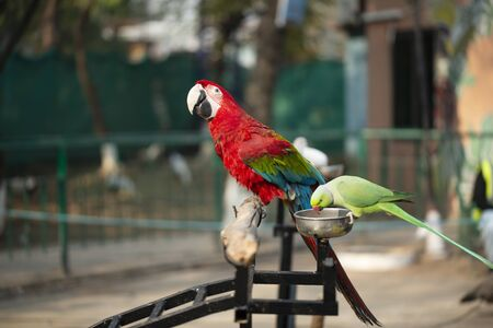 Portrait of colorful Scarlet Macaw parrot with green parrot in zoo eating nuts 写真素材