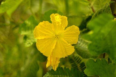 Yellow flower of Sponge gourd, Sponge Gourd Flower, Zucchini Flower.