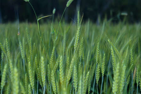 Young wheat plants growing on the soil, Amazingly beautiful endless fields of green wheat grass go far to the horizon.